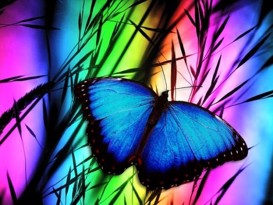 pawan johar transformation blue morphs butterfly